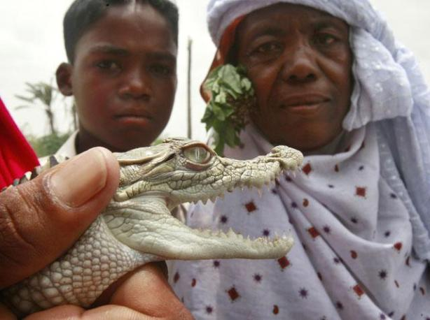 Devotees look as a keeper holds eight-month old crocodile during a festival at the shrine of Manghopir on the outskirts of Karachi