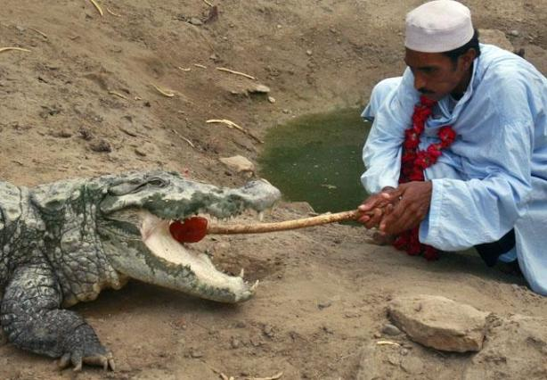 A devotee feeds a crocodile during a festival at the shrine of Manghopir on the outskirts of Karachi